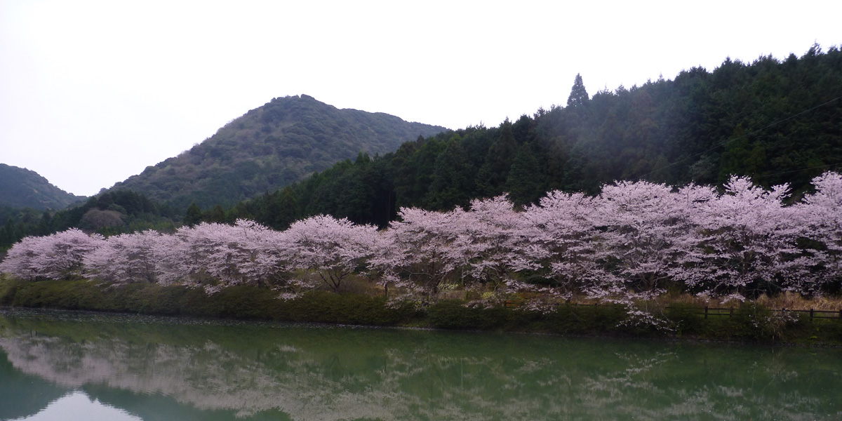 赤穂山八天桜