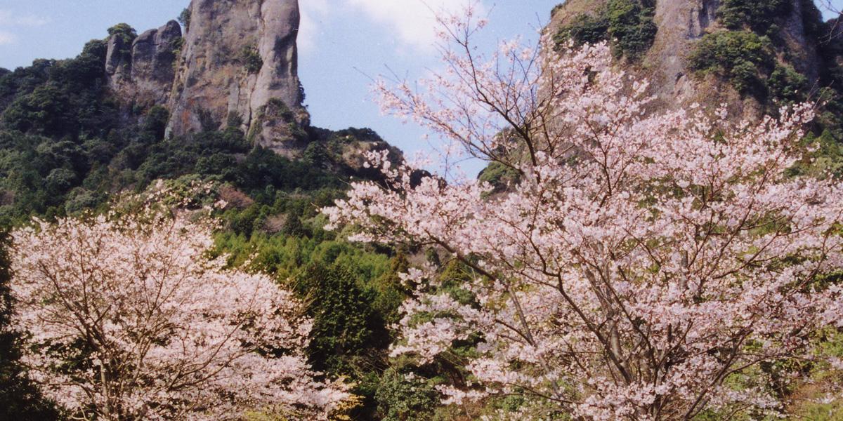 黒髪山の桜