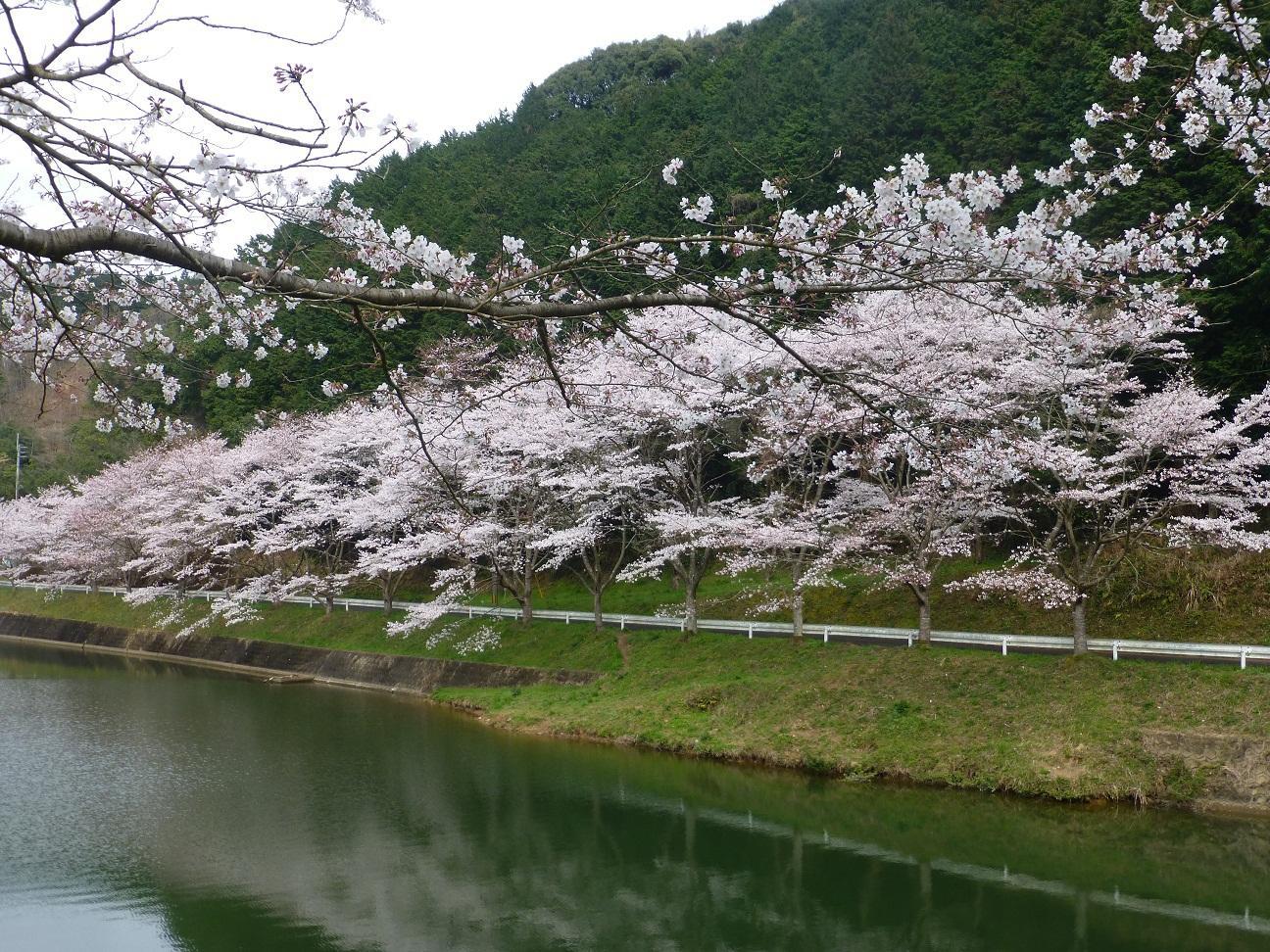 庭木ダム桜3.JPG